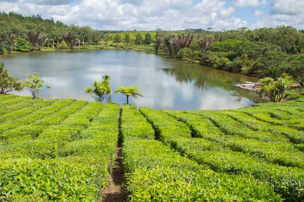 The Bois Cheri tea plantation on Mauritius