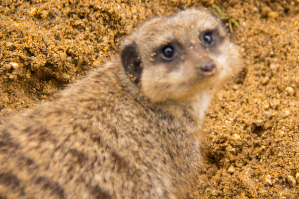 Meercat in Marwell Zoo in Hampshire