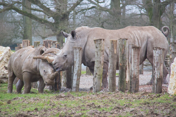 Rhinocerous with young at Marwell Zoo in Hampshire