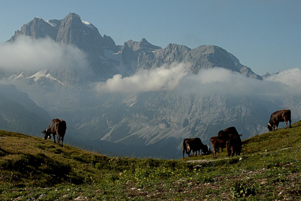 Cows grazing in an alpine meadow on Spinale in Madonna di Campiglio in Trentino Italy