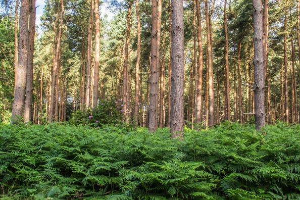 Woodland Walk through Sherwood Forest from Sherwook Hideaway Near Ollerton, Notts, UK