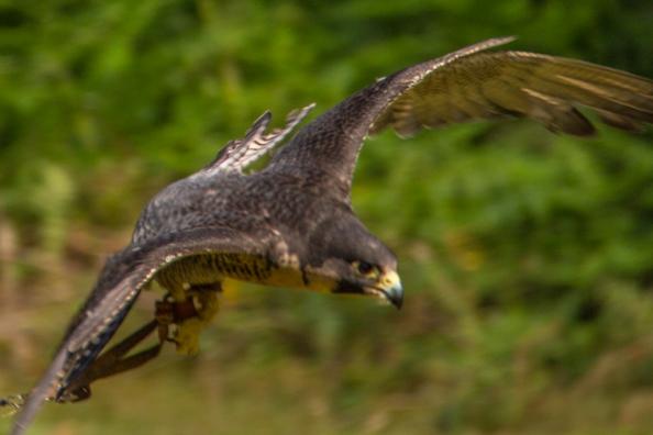 Bella, peregrine falcon at Sherwood Hideaway, Near Ollerton, Notts, UK